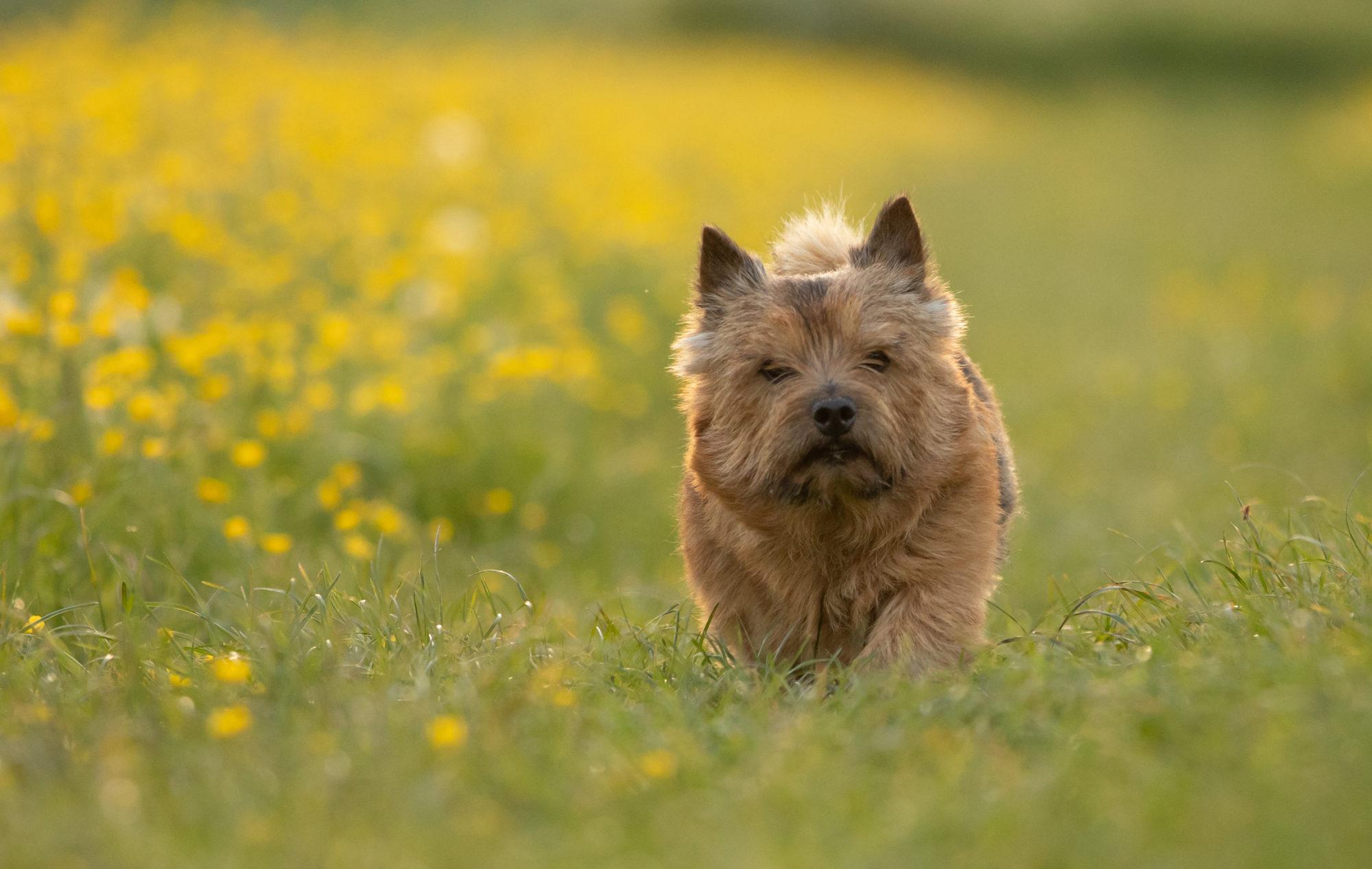 Norwich Terrier Club