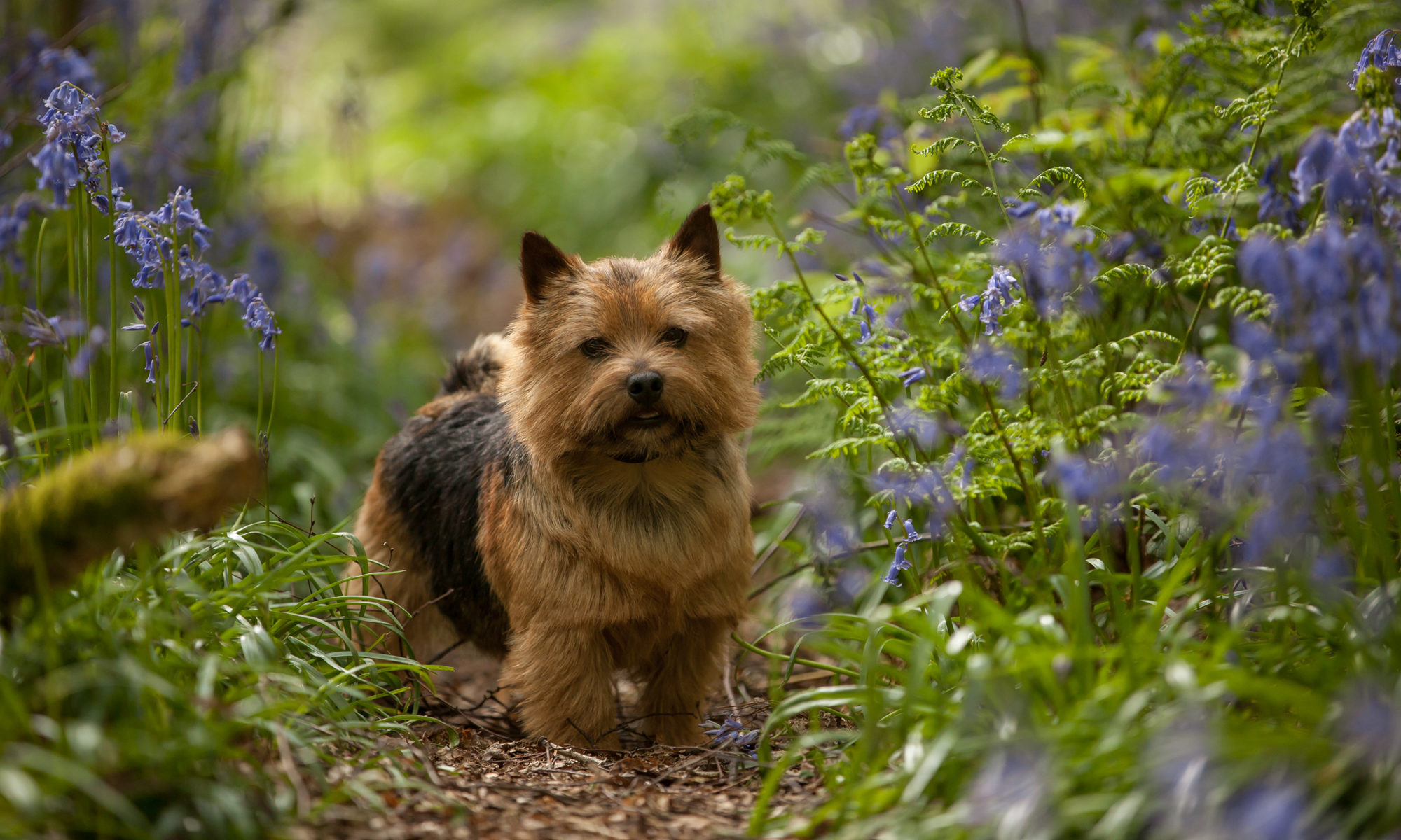 Norwich Terrier Club